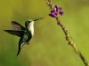 116-kolibrie-116